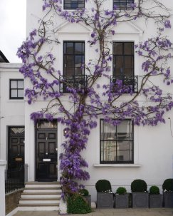 wisteria-on-a-white-wall
